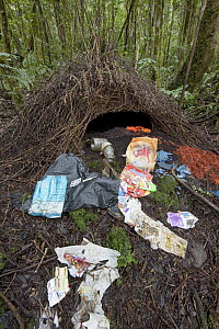 Brown Gardener (Amblyornis inornatus) bower decorated with trash, berries and fungi gift to attract a female mate, Arfak Mountains, Papua New Guinea, Indonesia  -  Ingo Arndt