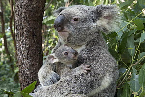 Koala (Phascolarctos cinereus) mother mother cuddling her seven-month-old joey, Queensland, Australia - Suzi Eszterhas