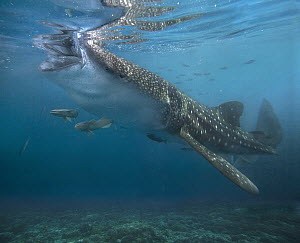 Whale Shark (Rhincodon typus) eating with attendant Remoras (Remora remora), Philippines  -  Tim Fitzharris