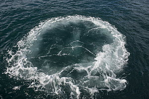 Humpback Whale (Megaptera novaeangliae) bubble ring, Eastern Cape, South Africa, Sequence 3 of 3  -  Pete Oxford