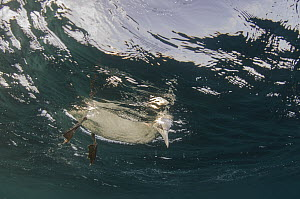 Cape Gannet (Morus capensis) looking below surface for fish, Eastern Cape, South Africa - Pete Oxford