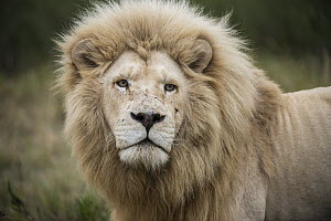 African Lion (Panthera leo) male with battle scars, bred with half white genes, Inkwenkwezi Private Game Reserve, Eastern Cape, South Africa  -  Pete Oxford