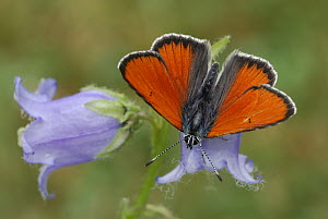 Purple-edged Copper (Lycaena hippothoe) butterfly male, Alps, Switzerland  -  Thomas Marent