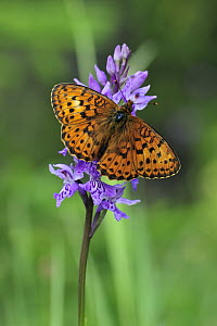 Lesser Marbled Fritillary (Brenthis ino) butterfly on an orchid, Switzerland - Thomas Marent