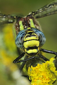 Hairy Dragonfly (Brachytron pratense), Switzerland  -  Thomas Marent