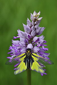 Owl Fly (Libelloides coccajus) on orchid, Switzerland  -  Thomas Marent