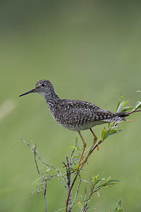 Lesser Yellowlegs (Tringa flavipes), Alaska  -  Michael Quinton