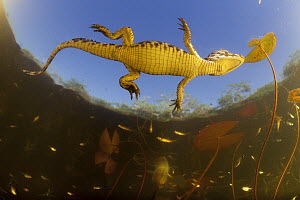 Jacare Caiman (Caiman yacare) baby seen from below, Brazil - Luciano Candisani