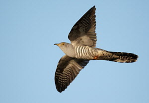 Common Cuckoo (Cuculus canorus) flying, Schleswig-Holstein, Germany - Chris Romeiks