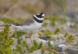 Common Ringed Plover (Charadrius hiaticula), Mecklenburg Vorpommern, Germany - Chris Romeiks