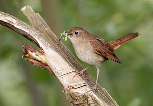 Nightingale (Luscinia megarhynchos), Mecklenburg Vorpommern, Germany - Chris Romeiks