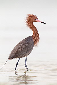 Reddish Egret (Egretta rufescens), Florida - Jan Wegener