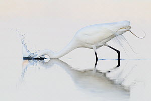 Great Egret (Ardea alba), Florida  -  Jan Wegener
