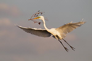 Great Egret (Ardea alba) flying with a twig to its nest, Florida  -  Jan Wegener