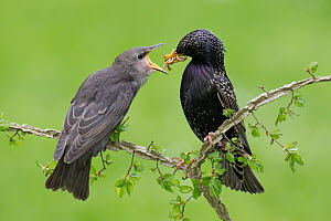 Common Starling (Sturnus vulgaris) feeding its offspring, Brandenburg, Germany  -  Jan Wegener