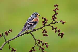 Brambling (Fringilla montifringilla), Brandenburg, Germany  -  Jan Wegener