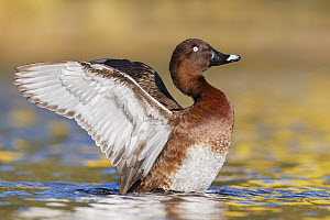 White-eyed Duck (Aythya australis) male flapping, Australia  -  Jan Wegener
