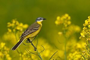 Blue-headed Wagtail (Motacilla flava), Schleswig-Holstein, Germany  -  Peter Hering