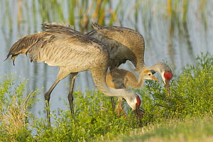 Sandhill Crane (Grus canadensis) adults and juvenile foraging, Florida - Rosl Roessner