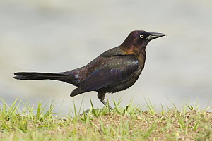 Common Grackle (Quiscalus quiscula), Florida - Rosl Roessner