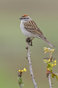 Chipping Sparrow (Spizella passerina), British Columbia, Canada  -  Glenn Bartley