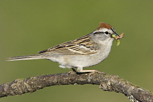 Chipping Sparrow (Spizella passerina) carrying insects, British Columbia, Canada - Glenn Bartley