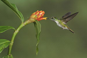 White-bellied Mountain Gem (Oreopyra hemileucus) feeding on nectar, Costa Rica  -  Glenn Bartley