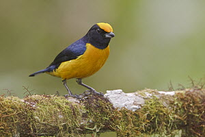 Orange-bellied Euphonia (Euphonia xanthogaster) male, Ecuador  -  Glenn Bartley