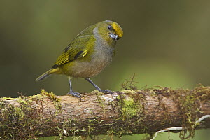 Orange-bellied Euphonia (Euphonia xanthogaster) female, Ecuador  -  Glenn Bartley