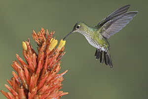 Many-spotted Hummingbird (Taphrospilus hypostictus) feeding on nectar, Ecuador  -  Glenn Bartley