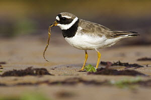 Common Ringed Plover (Charadrius hiaticula) feeding on a sandworm, Asturias, Spain  -  Mario Suarez Porras