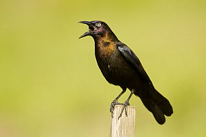 Common Grackle (Quiscalus quiscula) male calling, Florida - Rosl Roessner