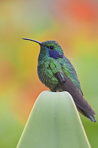 Green Violet-ear (Colibri thalassinus), Costa Rica  -  Glenn Bartley
