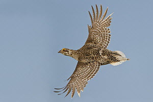 Sharp-tailed Grouse (Tympanuchus phasianellus), Saskatchewan, Canada - Glenn Bartley