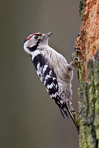 Lesser Spotted Woodpecker (Dendrocopos minor), Saxony, Germany  -  Oliver Richter