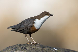 White-throated Dipper (Cinclus cinclus), Saxony, Germany  -  Oliver Richter