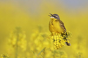 Blue-headed Wagtail (Motacilla flava) male singing, Saxony, Germany  -  Oliver Richter
