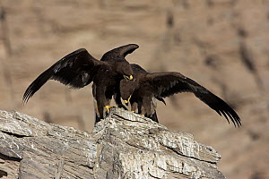 Greater Spotted Eagle (Aquila clanga) pair fighting, Muscat, Oman - Christine Jung