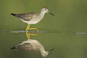 Lesser Yellowlegs (Tringa flavipes), Ontario, Canada  -  Glenn Bartley