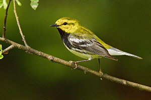 Black-throated Green Warbler (Setophaga virens) male, Ontario, Canada  -  Glenn Bartley
