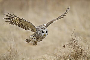 Barred Owl (Strix varia), Ontario, Canada - Glenn Bartley