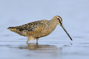 Long-billed Dowitcher (Limnodromus scolopaceus), Texas - Alan Murphy