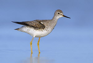 Lesser Yellowlegs (Tringa flavipes), Texas  -  Alan Murphy