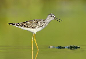 Lesser Yellowlegs (Tringa flavipes) calling, Texas  -  Alan Murphy