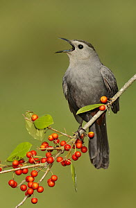 Gray Catbird (Dumetella carolinensis) singing, Texas - Alan Murphy