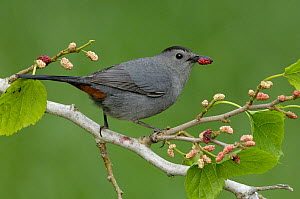 Gray Catbird (Dumetella carolinensis) eating berries, Texas - Alan Murphy