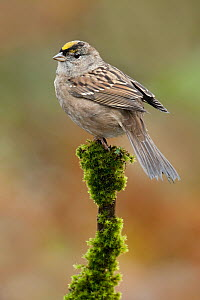 Golden-crowned Sparrow (Zonotrichia atricapilla), British Columbia, Canada  -  Alan Murphy