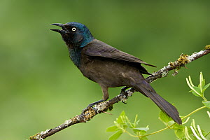 Common Grackle (Quiscalus quiscula) male calling, Texas - Alan Murphy
