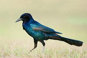 Common Grackle (Quiscalus quiscula) male, Texas - Alan Murphy