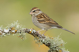 Chipping Sparrow (Spizella passerina), Texas  -  Alan Murphy